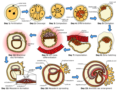 Day clipart time period. Human embryonic development wikipedia