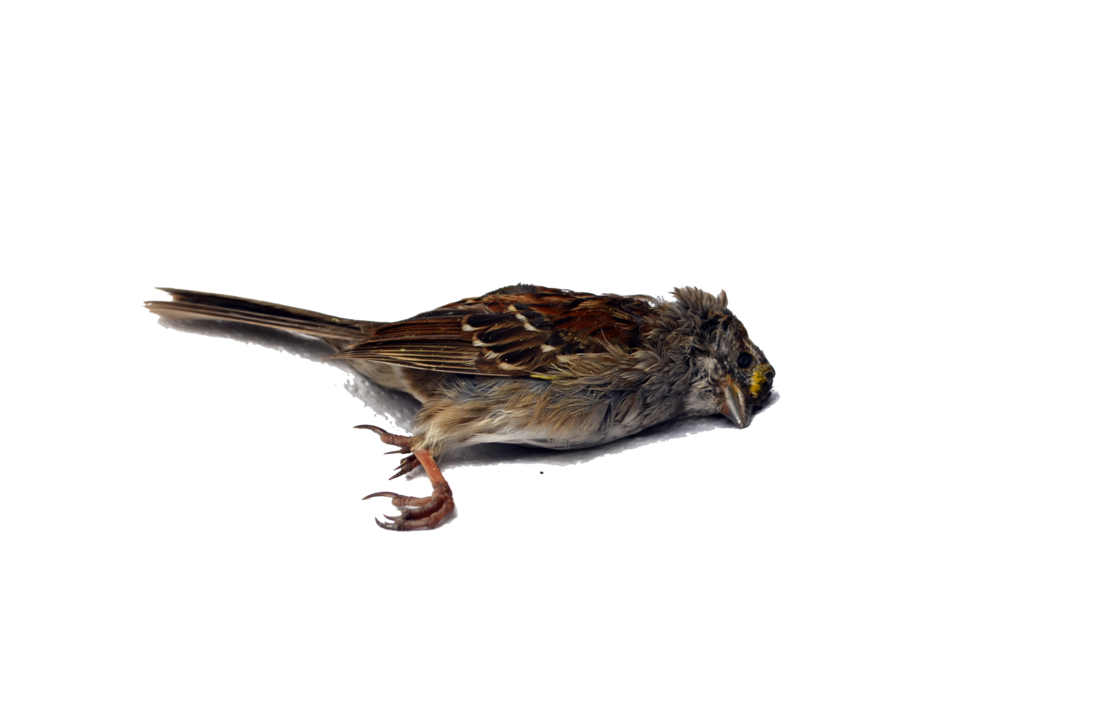 Sparrow decal png stock. Dead bird single by
