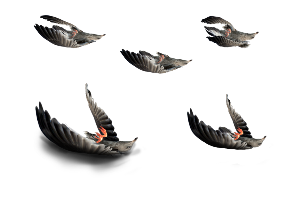 Dead crow png. Birds stock photos by