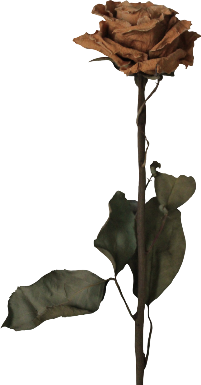 Dead flower png. Withered rose by thy