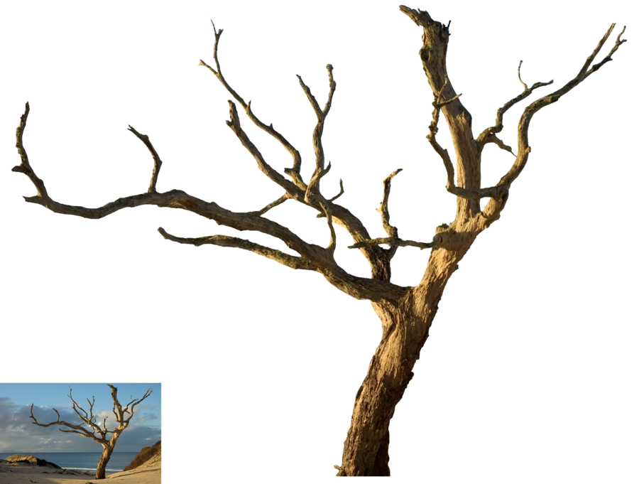 Dead tree png. Isolated by tothino on