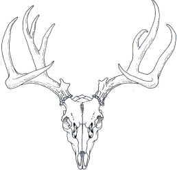Dear drawing. Whitetail deer skull at