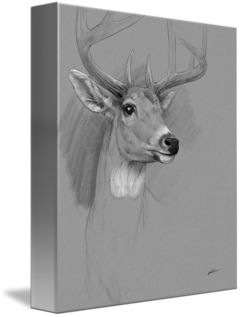 Dear drawing charcoal. Drawings whitetail deer by
