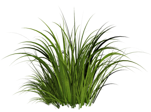 Grass plant png. Image green picture