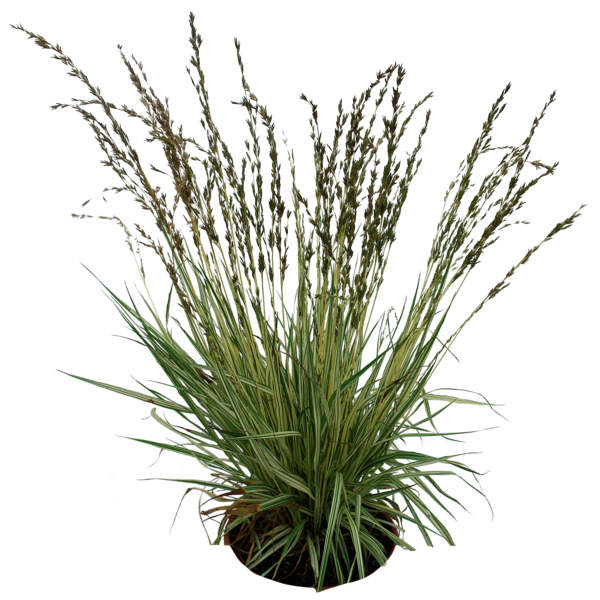 Ornamental grass png. Favourites by paulocesarsouza on