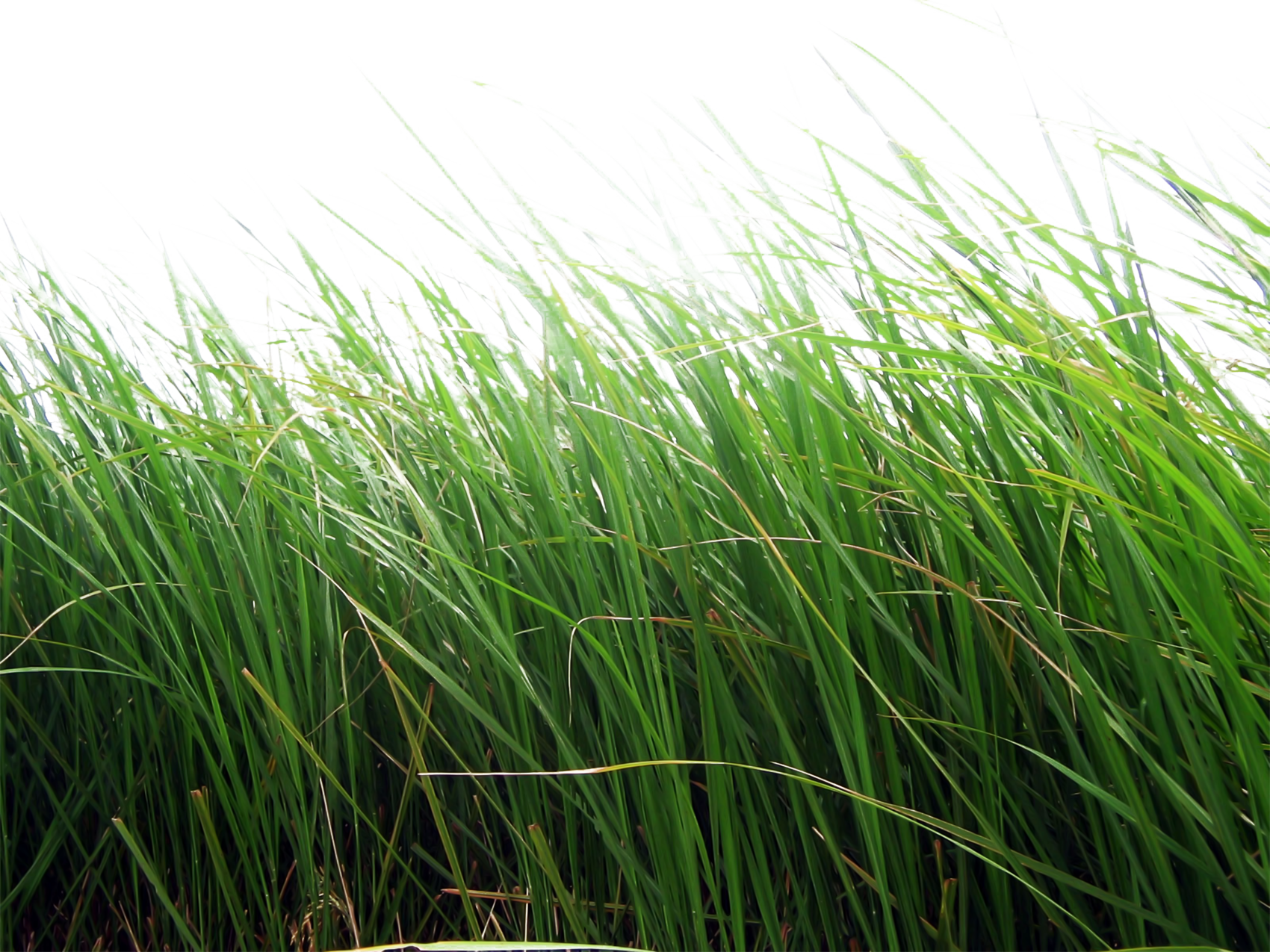 Tall grass png. Images pictures image green