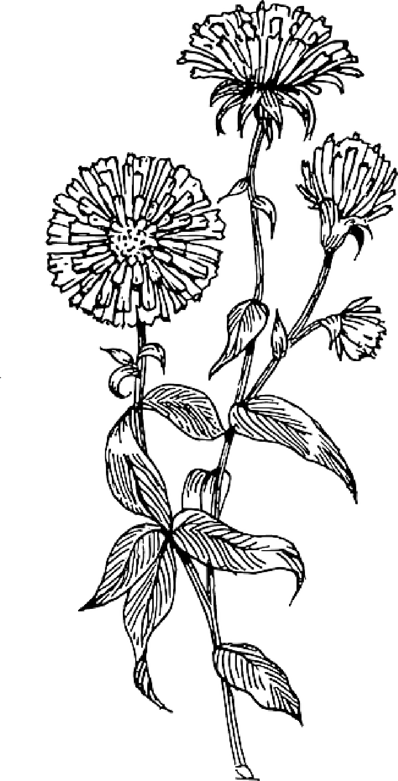Delphinium drawing. Aster flower related keywords