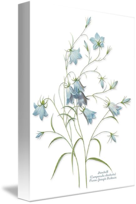 Delphinium drawing flower. Harebell redoute by sherry