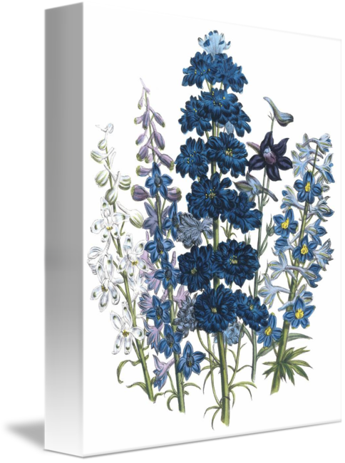 Delphinium drawing painting. Flowers by jane webb