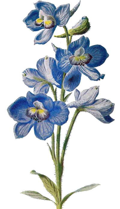 Delphinium drawing tattoo. Pin by on pinterest