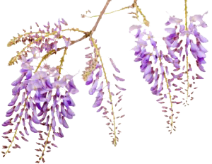 Delphinium drawing wisteria. Vine pinterest and paintings