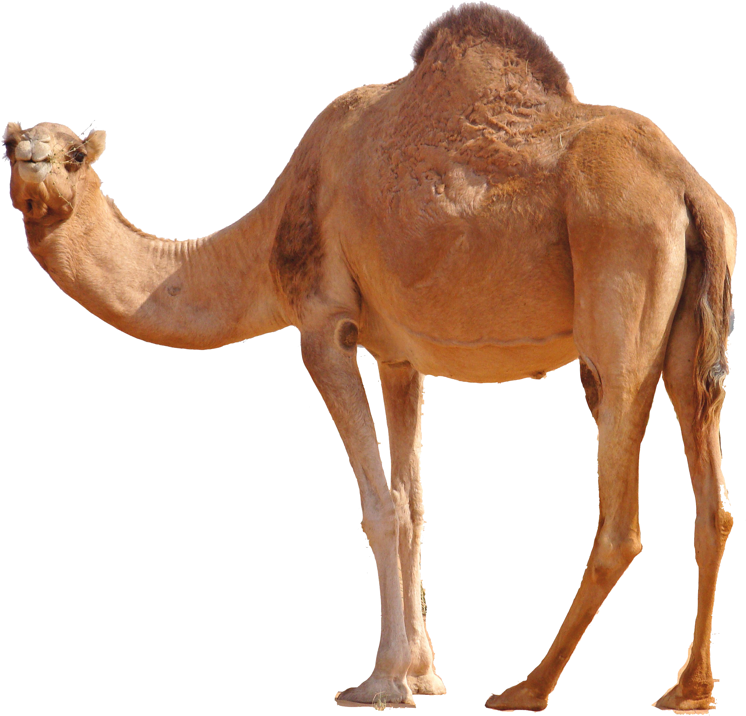drawing camels transparent