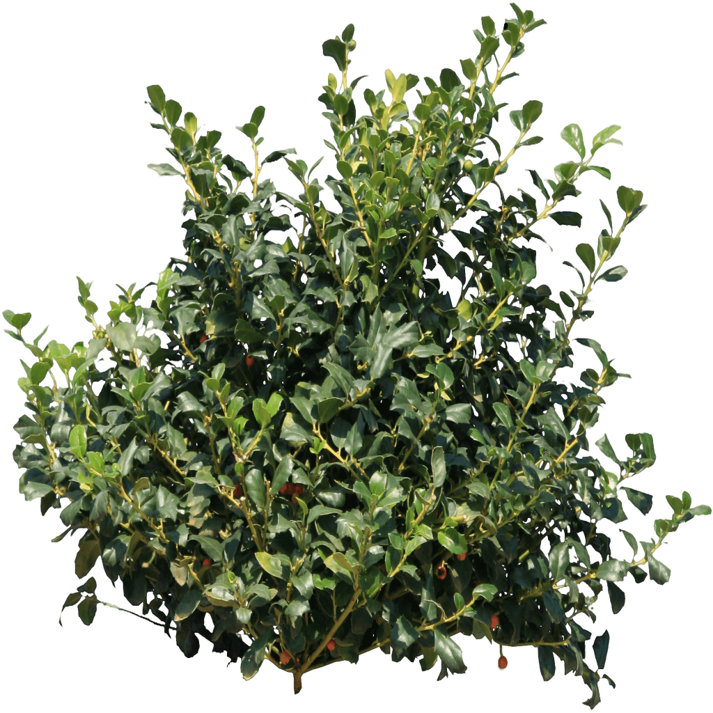 Desert shrub png. Bush images in collection