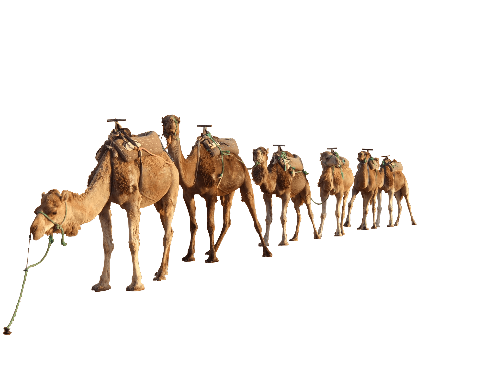 drawing camel desert
