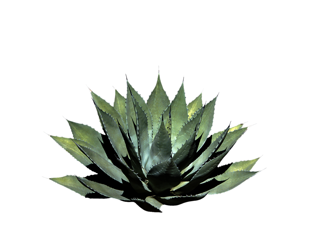 Aloe drawing yucca. Png plant by moonglowlilly