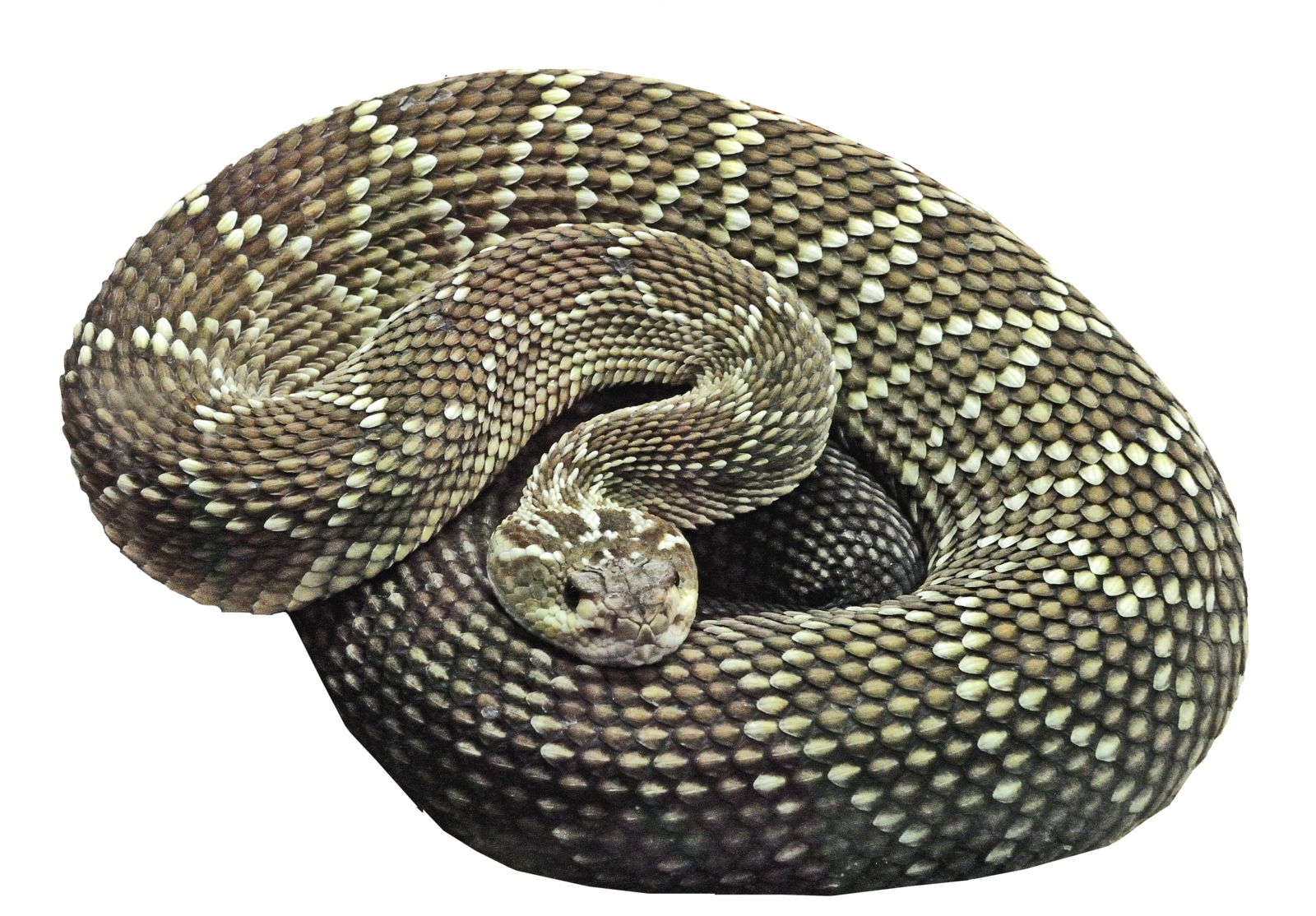 Desert snake png. Transparent pictures free icons