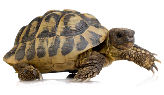 turtle .png