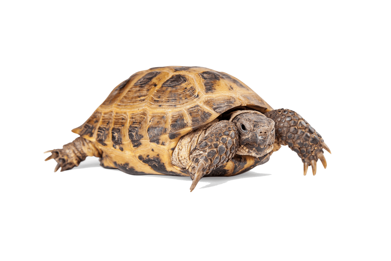 Desert tortoise png. Russian agrionemys horsfieldii for