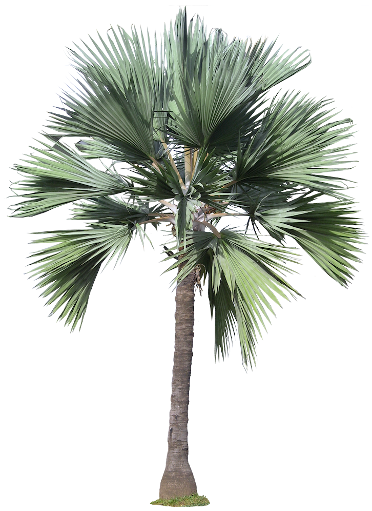 Palm tree plan view png. A collection of tropical