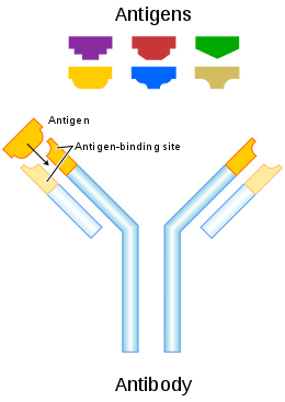 Vector expressions antibody expression. Wikipedia