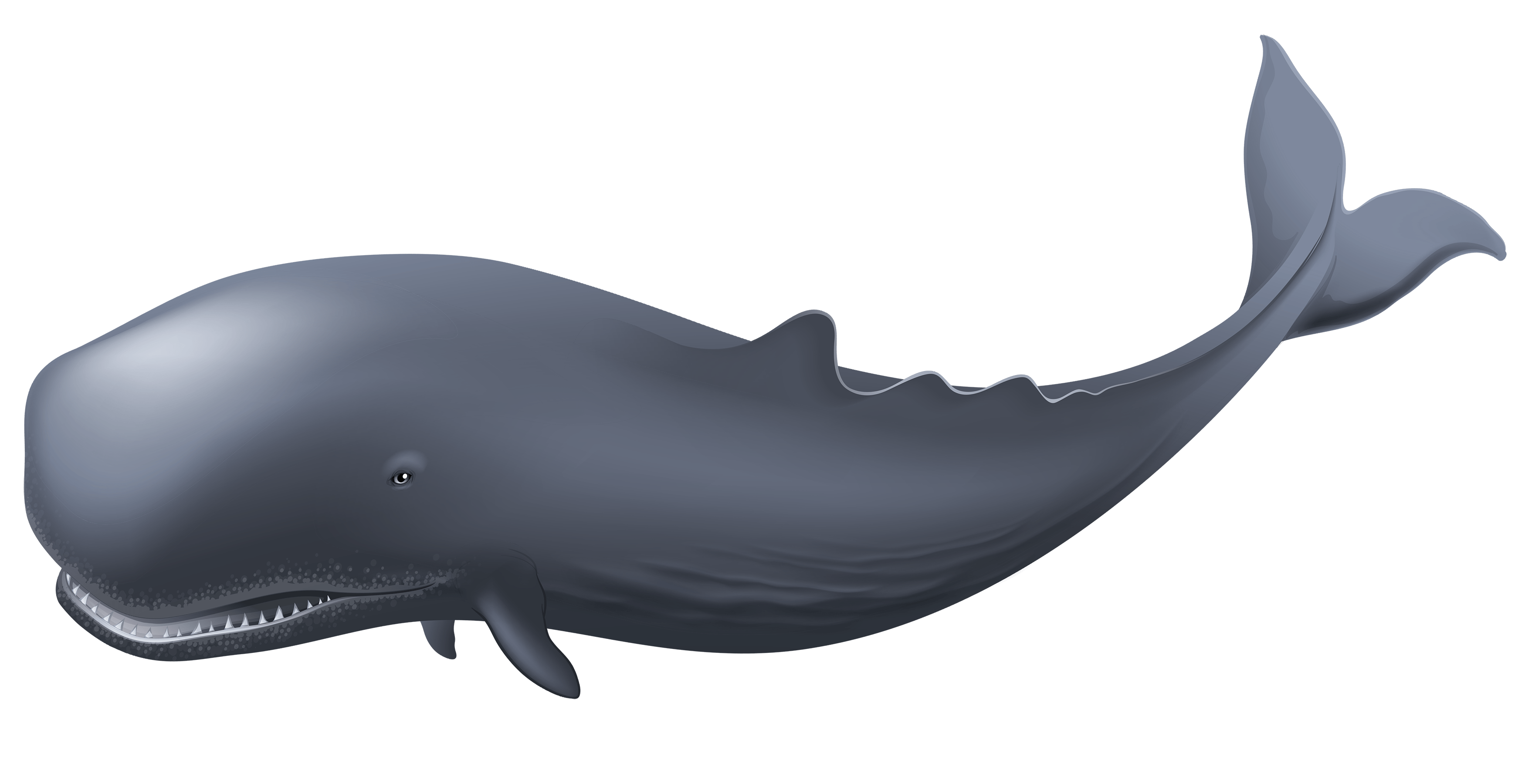 Diving clipart whale. Water creatures reference pinterest