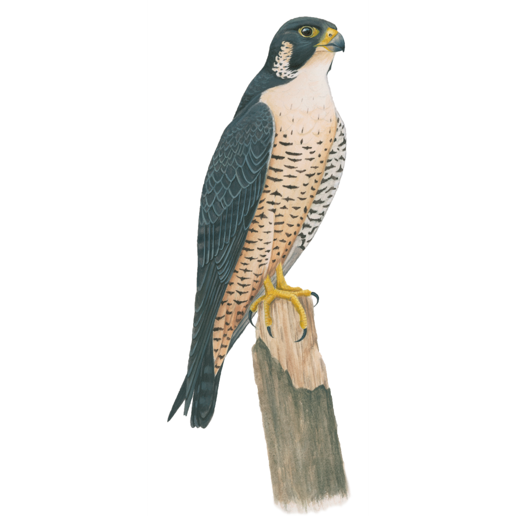 Peregrine falcon celebrate urban. Diving hawk png banner freeuse stock