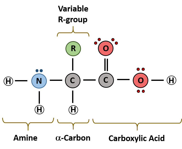 Enzyme drawing protein. Ch chapter the major
