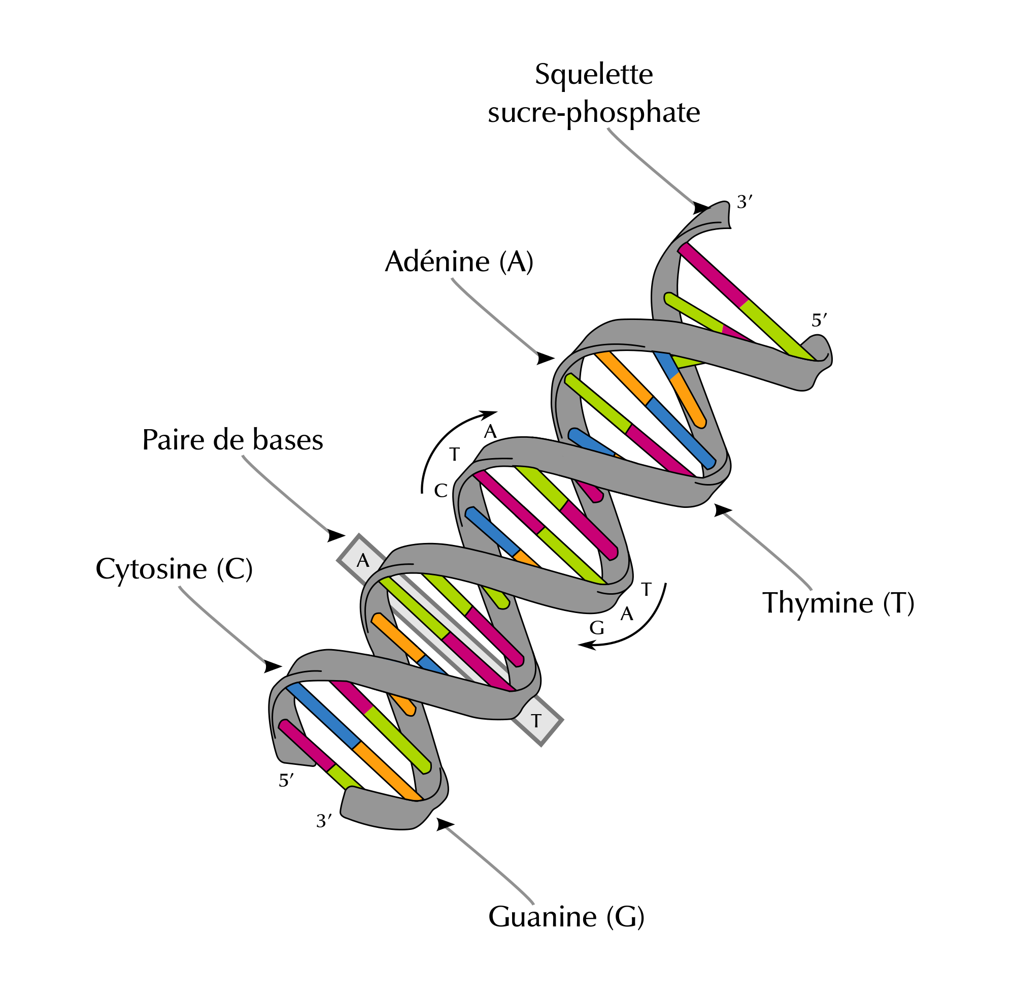 Forensic drawing autopsy. File dna structure and