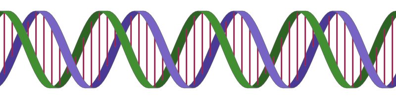 Dna svg horizontal. Drawing a double helix