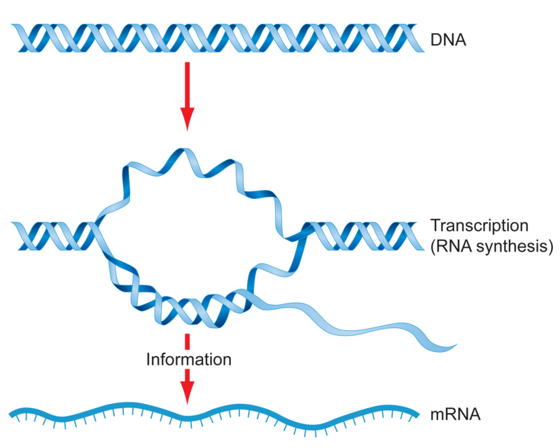 Dna svg rna label. And the genetic code