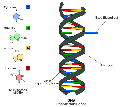 Dna svg wikipedia. Base flipping cartoon of