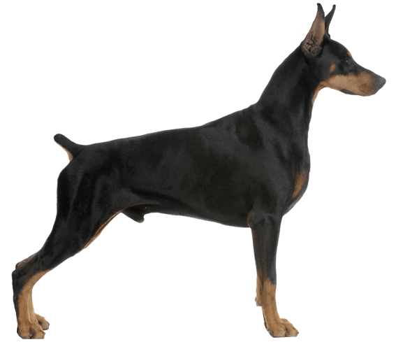Doberman vector black and white. Pinscher dog breed facts