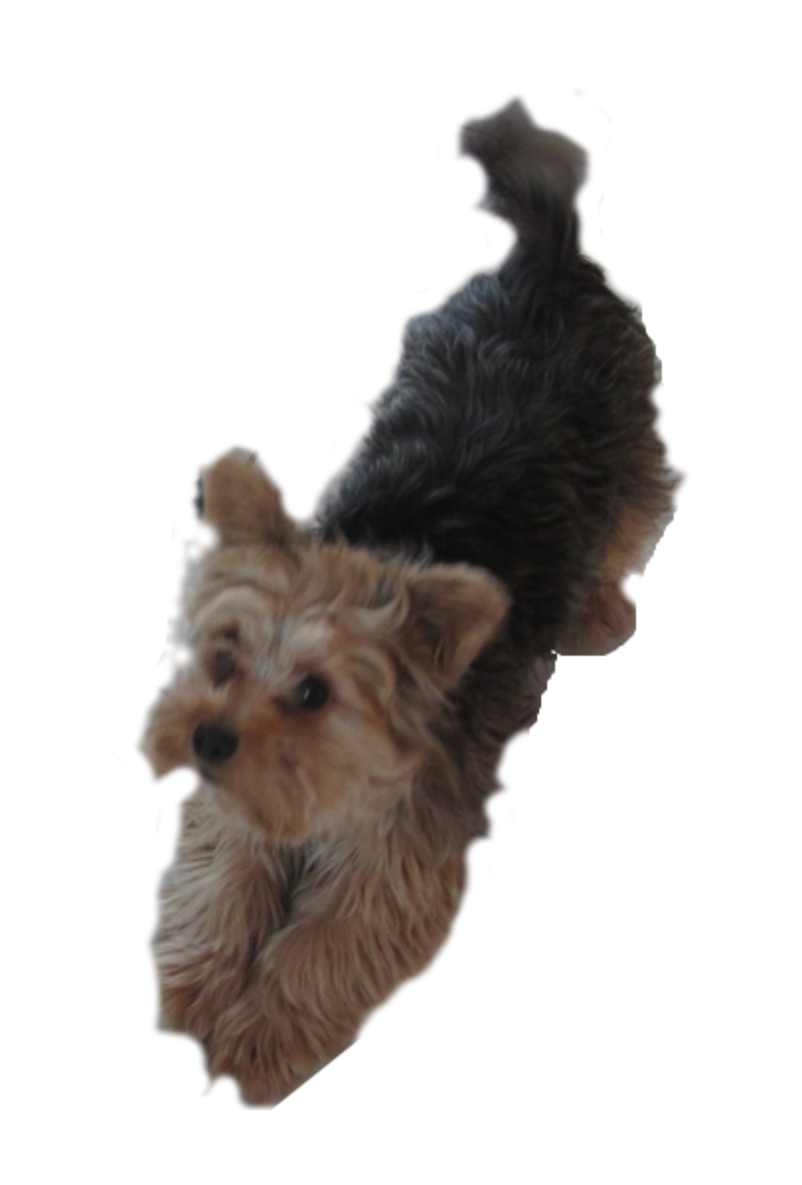 Yorkie svg outline. Clipart dog pleading big