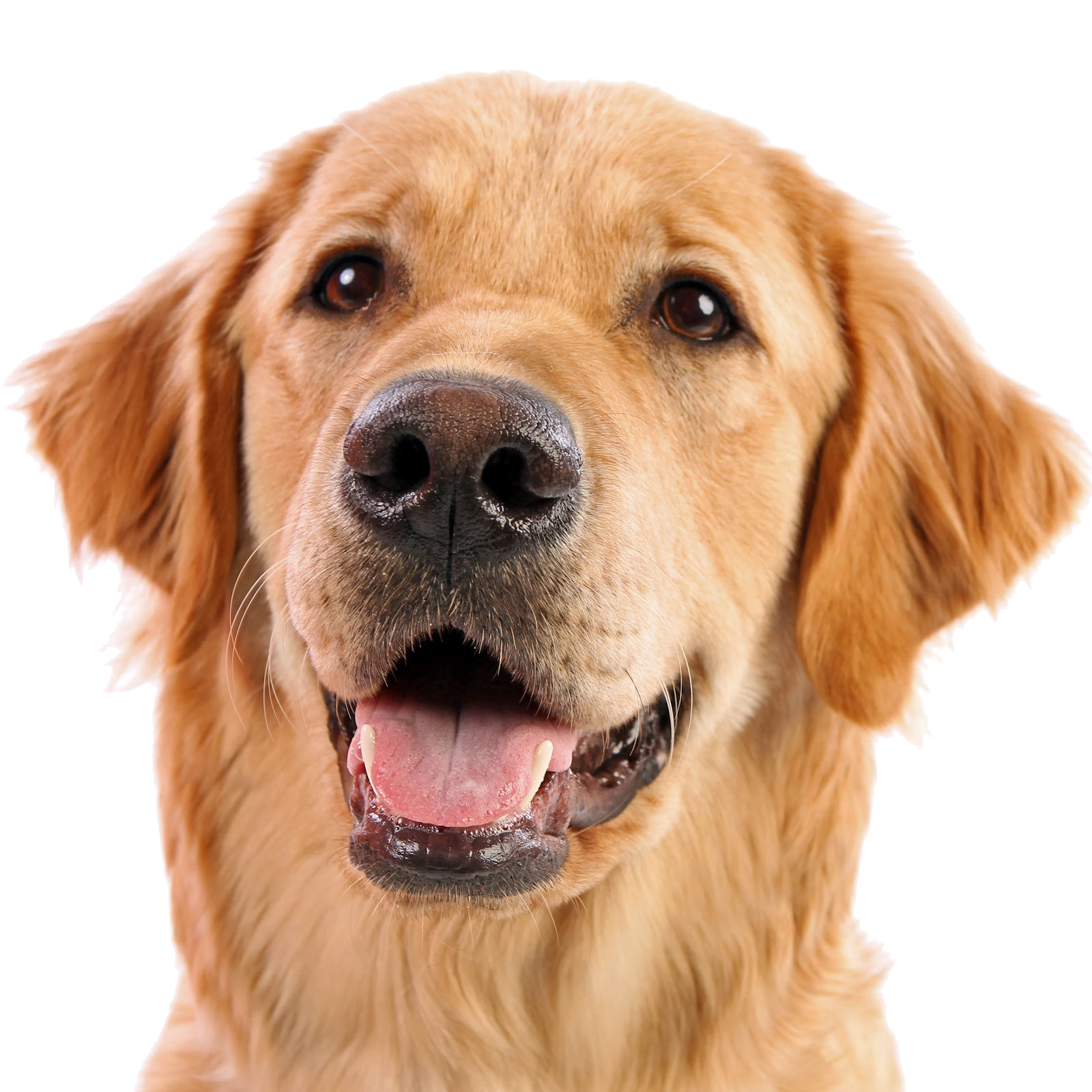 Dog face png. Image with transparent background