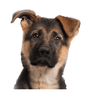 Dog face png. Puppy transparent stickpng young