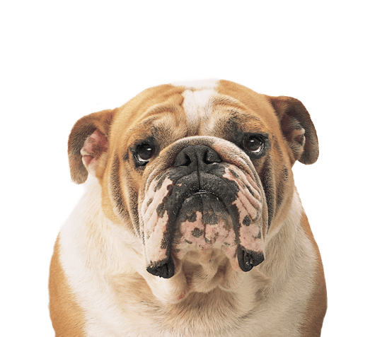 Dogs transparent images stickpng. Bulldog face png graphic free library