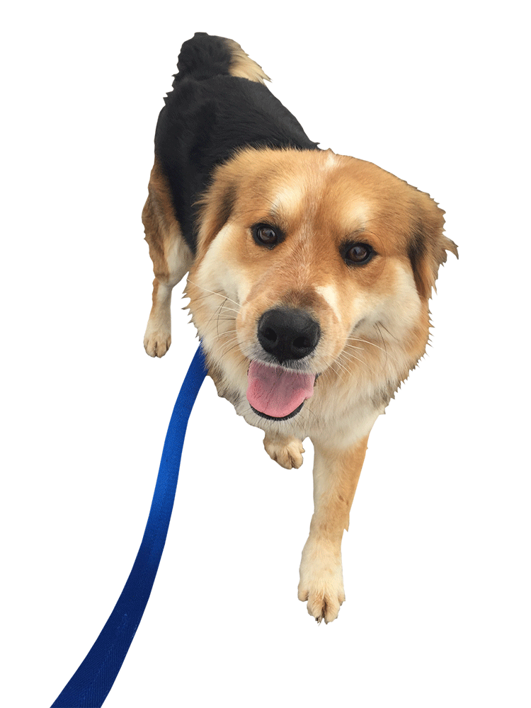Dog walking png. Affectionate pet care our