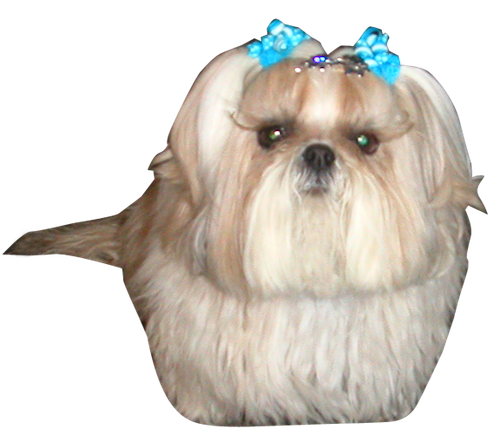Dogs clipart shitzu. Happy birthday shih tzu