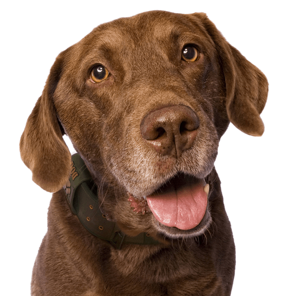 Dogs vector chesapeake bay retriever. Puppies search