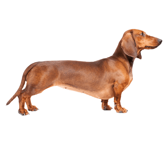Dogs vector teckel. Dachshund dog breed facts