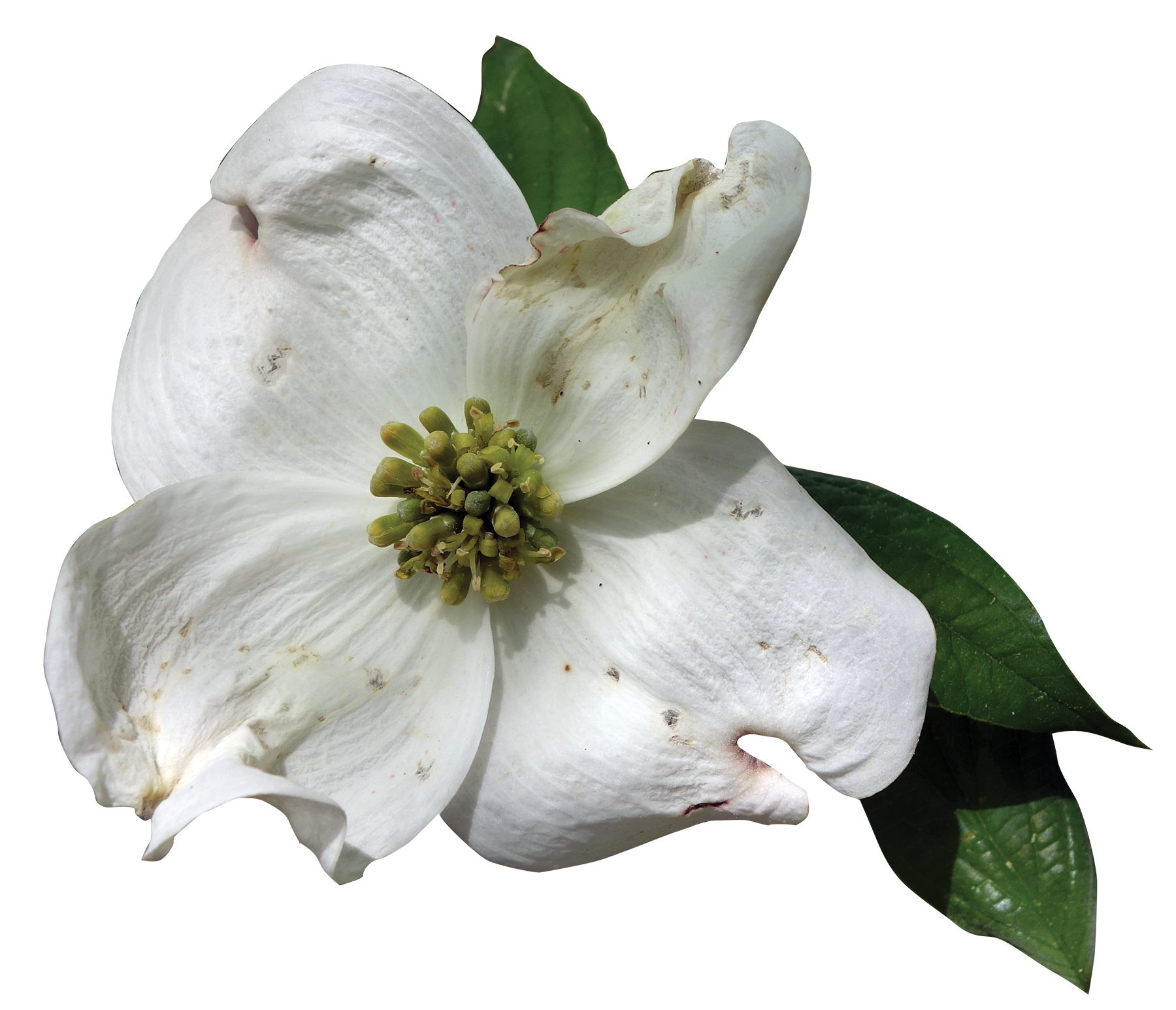 Dogwood flower png. Flowering friends of the