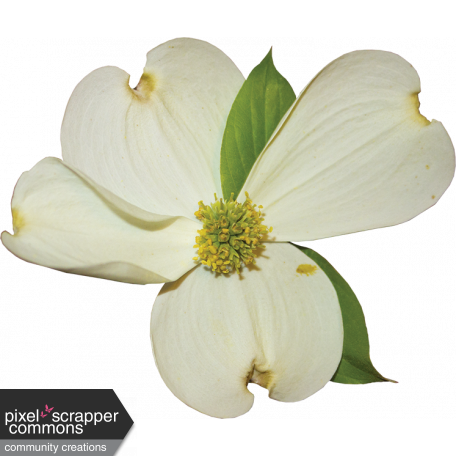 Dogwood flower png. Graphic by gina jones