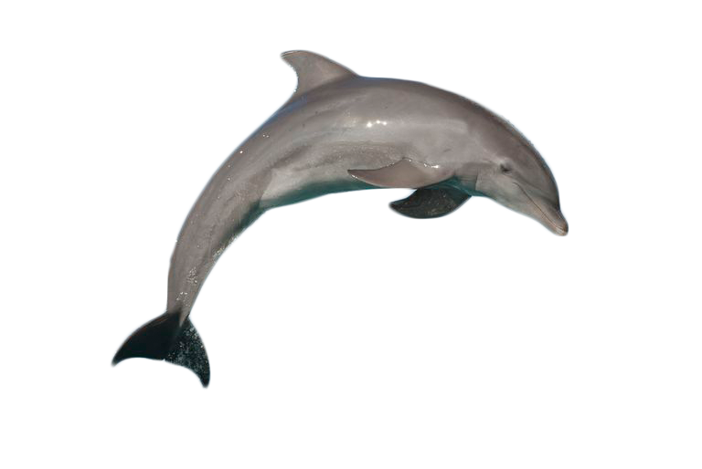 Dolphin clipart bottlenose dolphin. Atlantic jumping png image