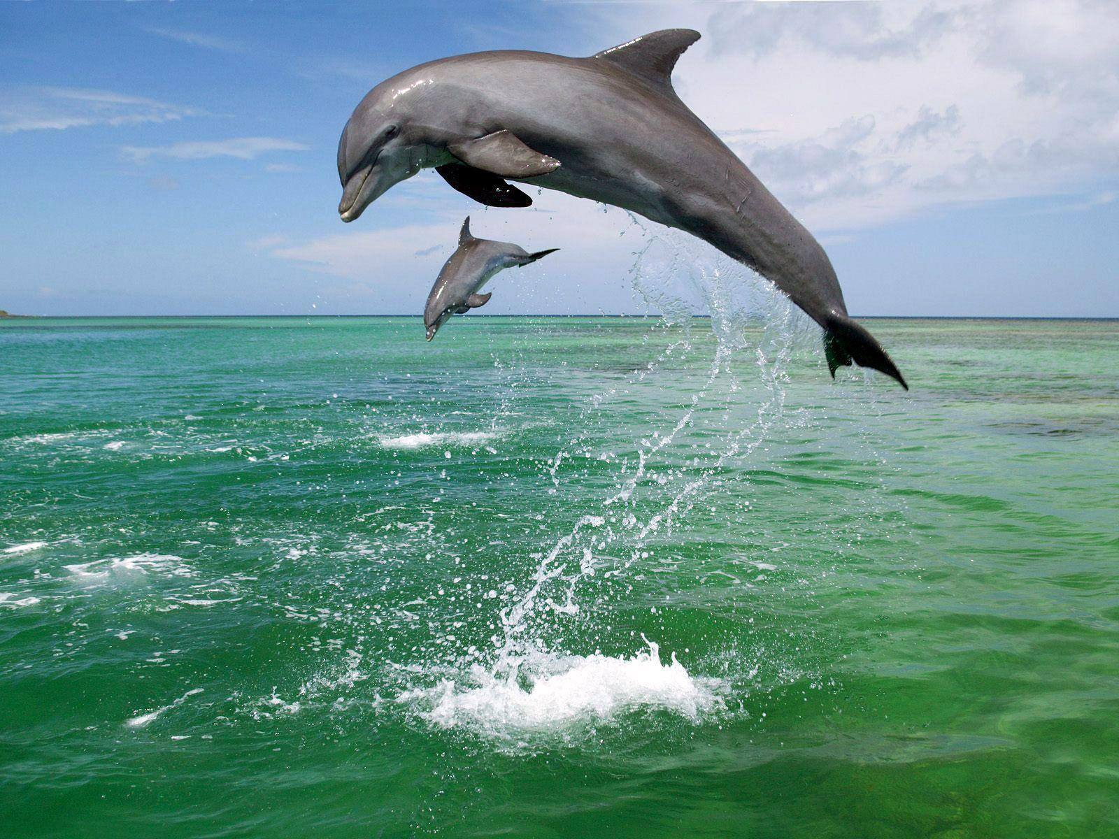 dolphin clipart real dolphin