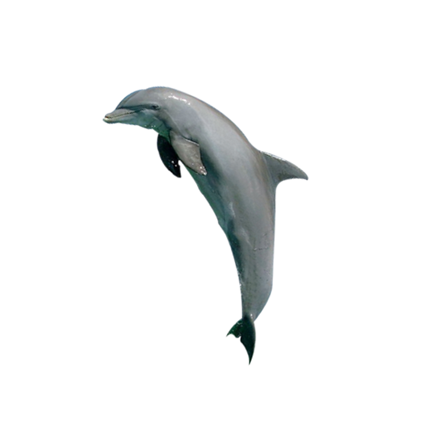 Dolphin jumping png. Tucuxi common bottlenose porpoise