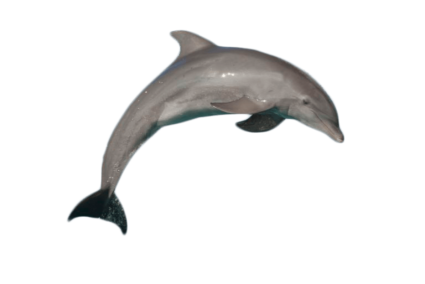 Dolphin jumping png. Atlantic bottlenose free images