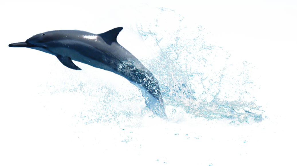 Dolphin png. Hd transparent images pluspng