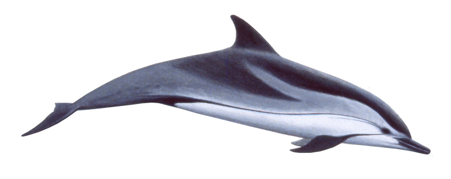 Dolphin transparent png. Swimming stickpng