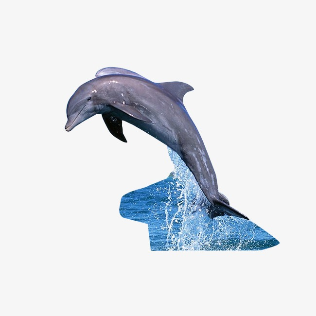 Dolphins clipart dolphin diving. Leaping out of the