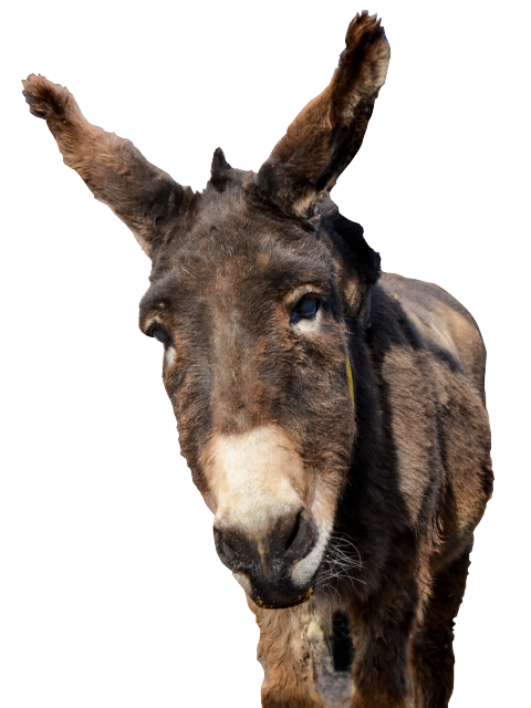 Donkey head png. Picture web icons
